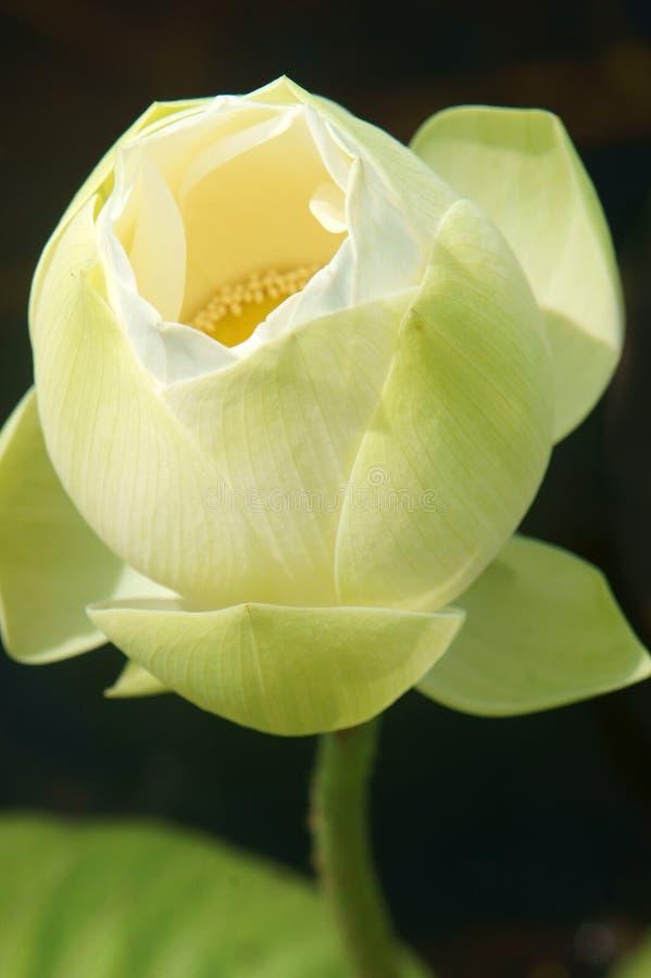 Въетнамский цветок, цветок белого лотоса стоковые изображения rf