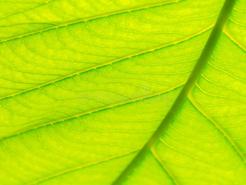 Выберите фокус зеленого макроса текстуры лист и bleary текстуры листьев Полезно как предпосылка стоковые изображения