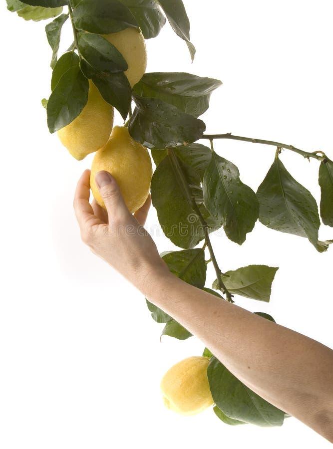 выбирать лимонов группы стоковое изображение
