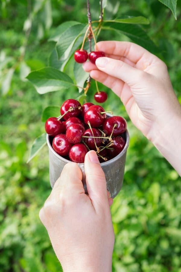 Выбирать сладостные вишни от вишневого дерева стоковое изображение