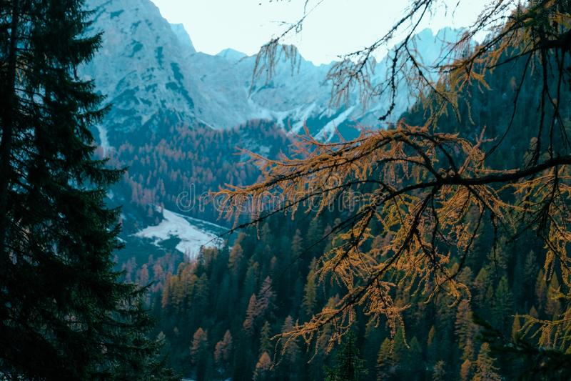 Выборочный фокус желтой ветви дерева лиственницы с деревом покрыл горы на заднем плане стоковое фото rf