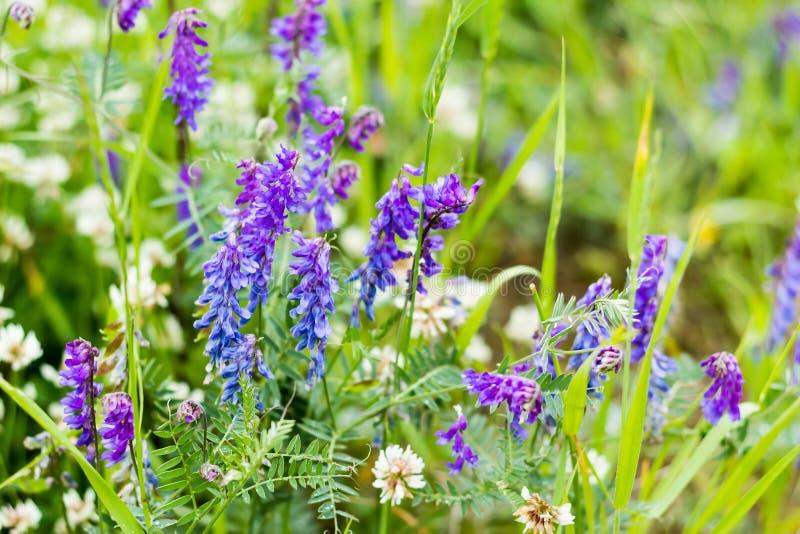 Выборочный фокус, красивая предпосылка полевых цветков сирени на запачканной предпосылке зеленой травы Wildflowers, травы луга стоковая фотография