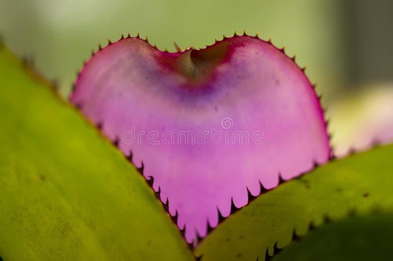 выбор листьев детали bromelia стоковая фотография rf