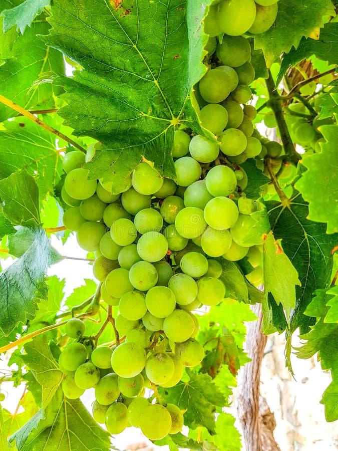 Выбранные разнообразия здоровых, зрелых и сочных белых виноградин готовых быть сжатым стоковые изображения rf