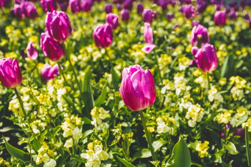 Выбранный цветок тюльпана пинка фокуса в саде с солнечным светом стоковые фотографии rf