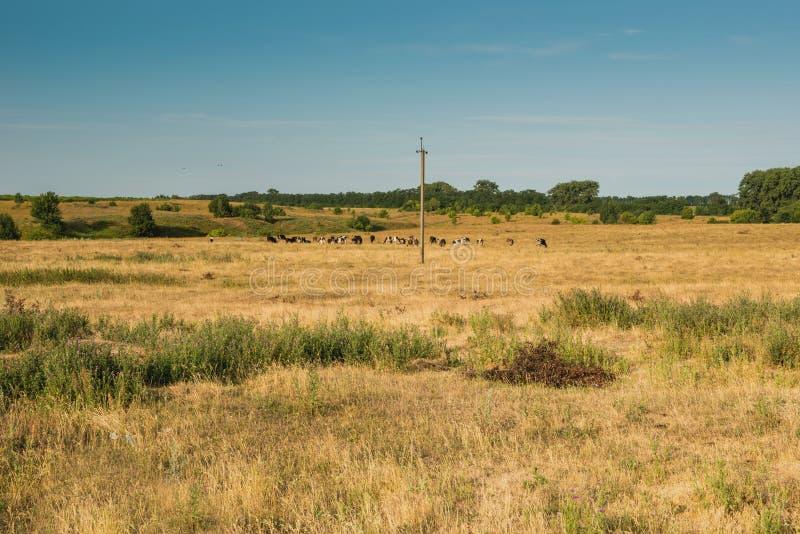 Выгон взгляда для коров стоковое изображение rf