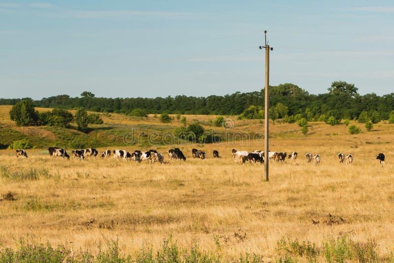 Выгон взгляда для коров стоковая фотография