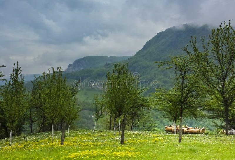 Выгон зеленой травы с деревьями и овцы на национальном парке i Тары стоковые изображения rf