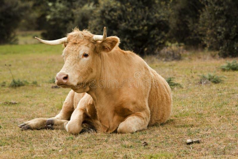 выгон коровы стоковое фото rf