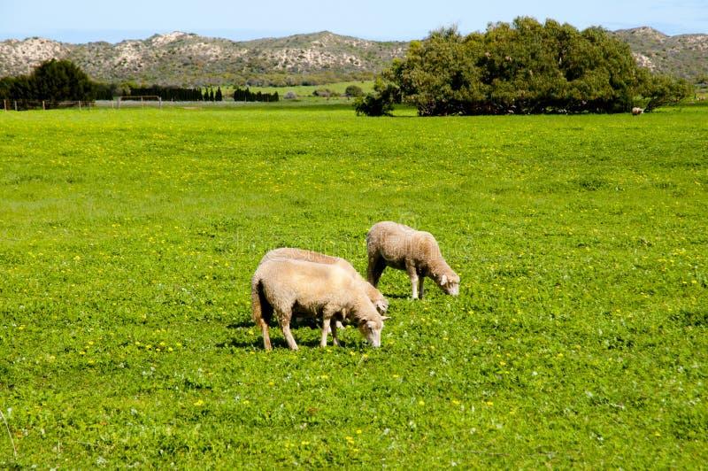 Выгон овец стоковое изображение