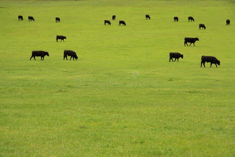 выгон скотин говядины стоковое изображение rf
