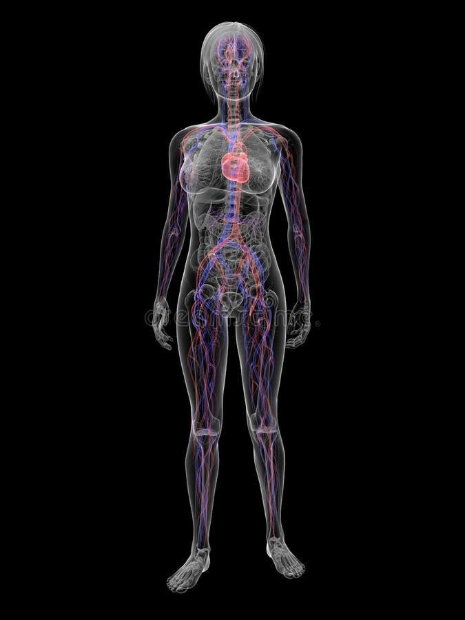 выделенная женщина системы васкулярная бесплатная иллюстрация