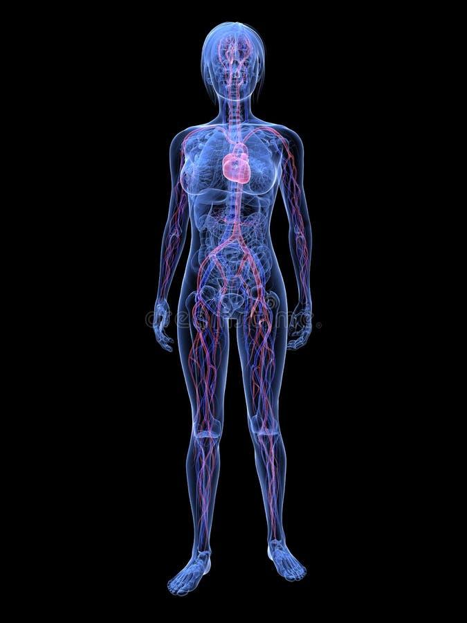 выделенная женщина системы васкулярная иллюстрация штока