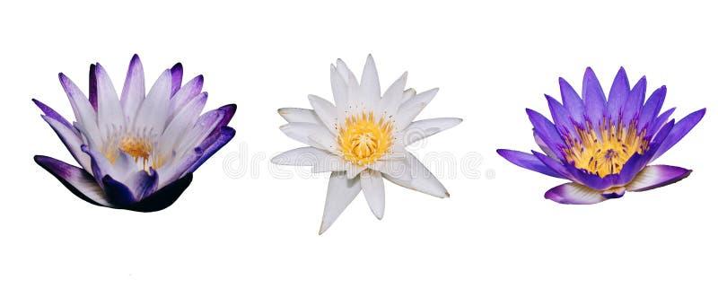 Выделяющийся красивый цветок белого лотоса зацветая в изолированной предпосылке стоковые изображения rf
