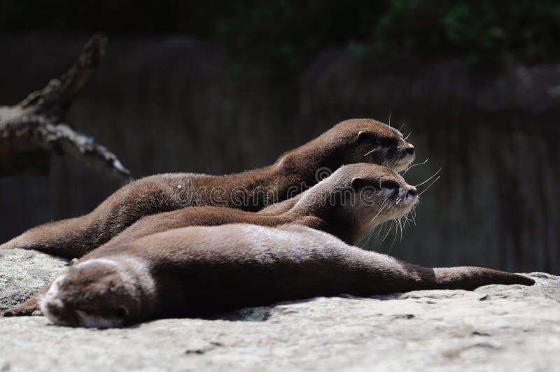Выдры в зоопарке Берлина стоковое фото