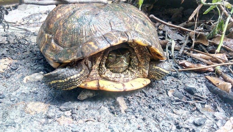 ` Выигранное черепахой t пришло вне от его дом ` s стоковое фото