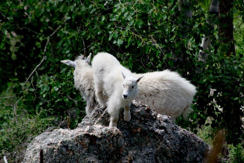 Выигрыши козы горы младенца стоковые фотографии rf