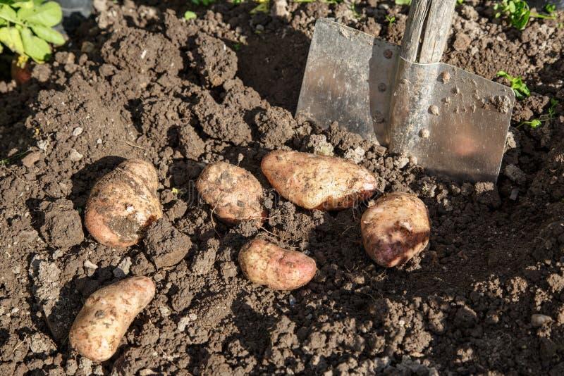 Выкапывать вверх картошки стоковое изображение