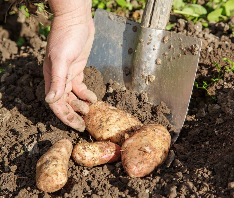 Выкапывать вверх картошки стоковая фотография
