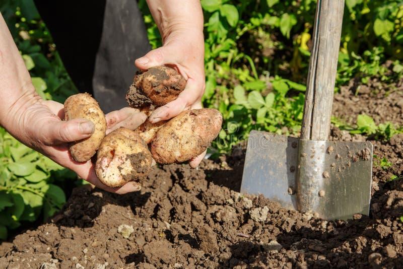 Выкапывать вверх картошки стоковые изображения