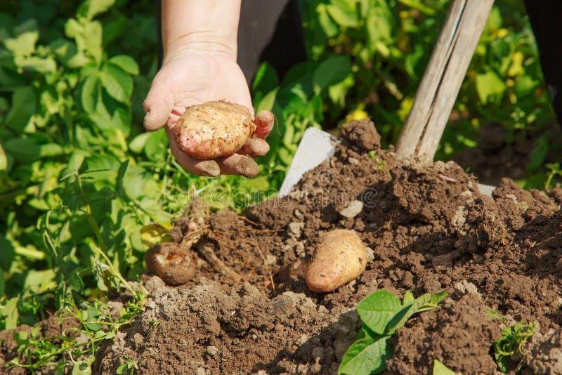 Выкапывать вверх картошки стоковое изображение rf