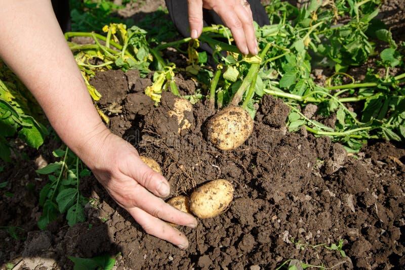 Выкапывать вверх свежие картошки стоковые изображения rf