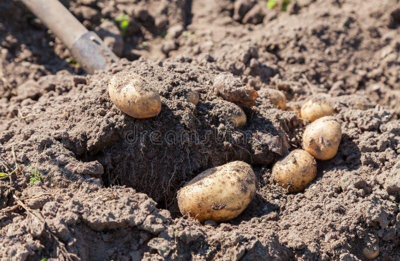 Выкапывать вверх свежие доморощенные картошки стоковые фотографии rf