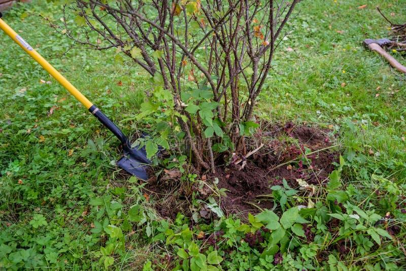 Выкапывать вне старый кустарник смородины с лопаткоулавливателем сада в саде лета работы в саде, человек выкапывают лопаткоулавли стоковое изображение rf