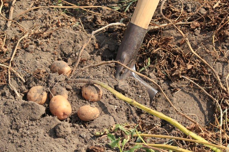 Выкапывать картошки стоковая фотография rf
