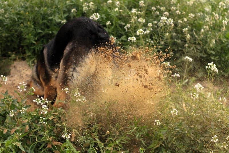 Выкапывать собаки стоковые изображения rf