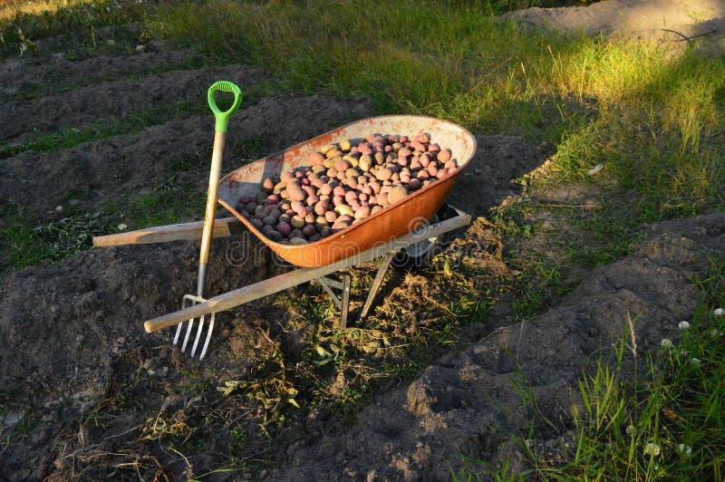 выкапывая картошки стоковое изображение
