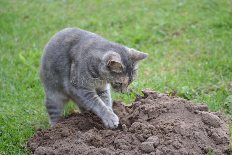 Выкапывая кот стоковое изображение rf