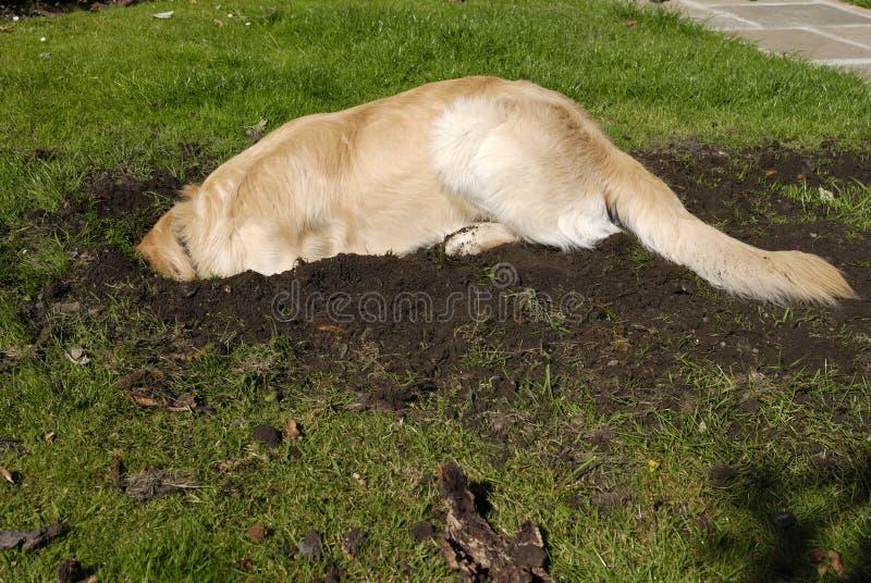 выкапывая retriever отверстия собаки золотистый стоковая фотография rf