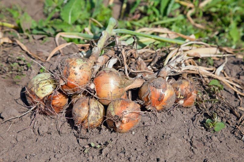 выкопанные свеже луки органические стоковое фото rf