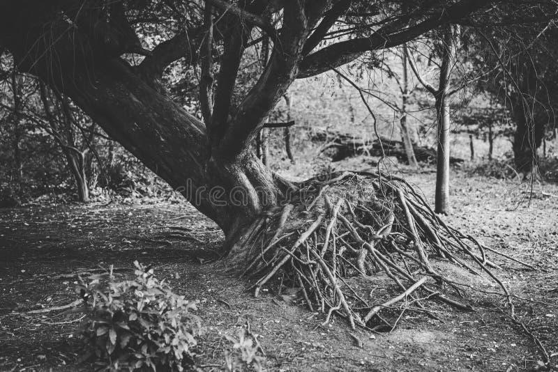 Выкорчеванное дерево в лесе показывая корни r стоковое изображение