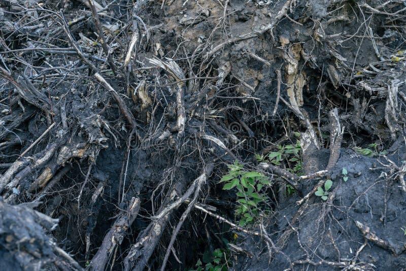 Выкорчеванные концом-вверх корни дерева Концепция обезлесения стоковые фотографии rf