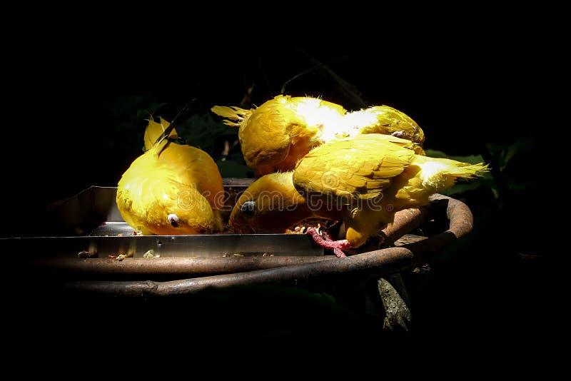 Вымирание угрожало золотого guarouba Cubs Eati Conure Guaruba стоковые фото
