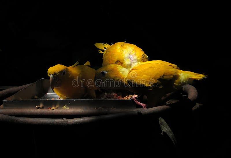 Вымирание угрожало золотого guarouba Cubs Eati Conure Guaruba стоковые фотографии rf