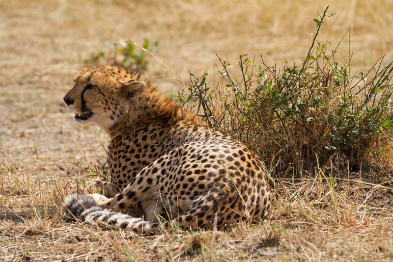 Вымотанный гепард стоковое фото rf