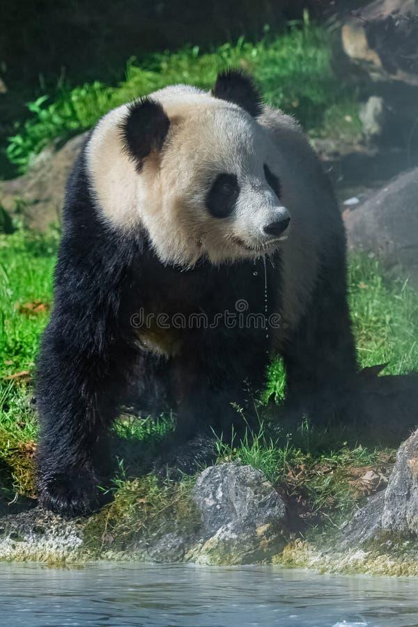 Выпивать гигантской панды стоковые фото