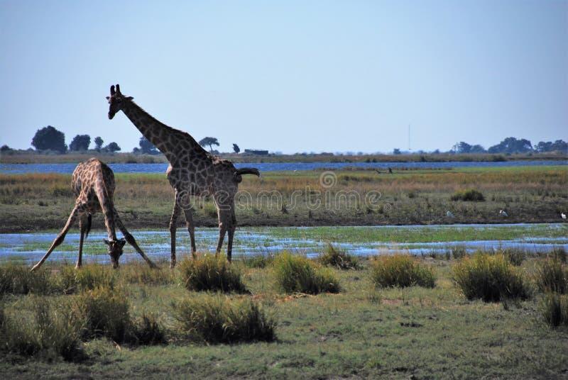 Выпивать жирафов стоковая фотография