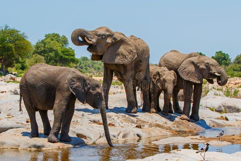 Выпивать табуна слона стоковые фотографии rf