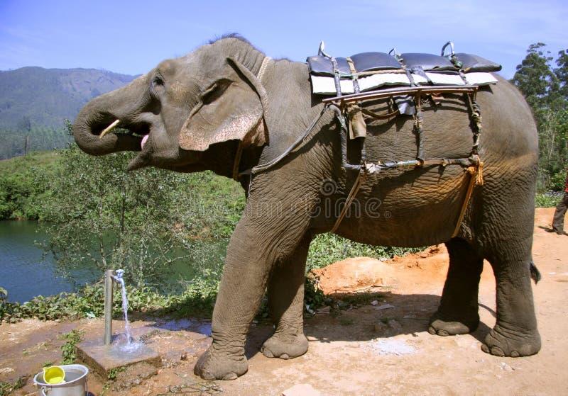 выпивая вода из крана слона стоковая фотография rf