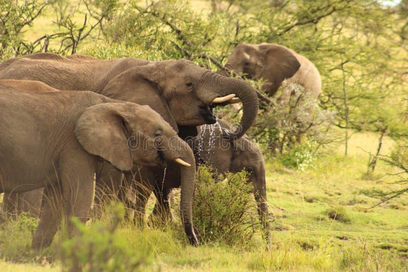 выпивая вода слонов стоковое изображение rf