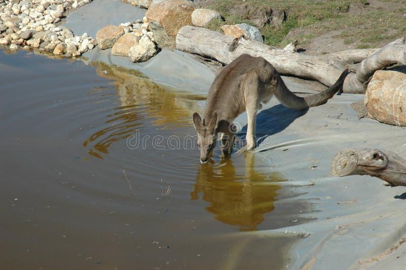 выпивая кенгуру стоковое изображение