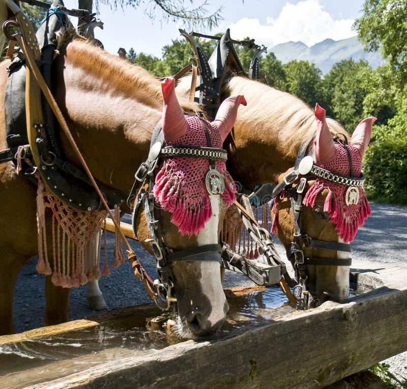выпивая лошади стоковое фото rf