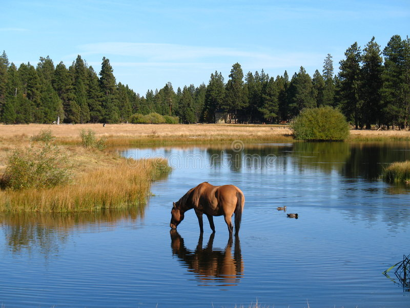 выпивая лошадь стоковые изображения