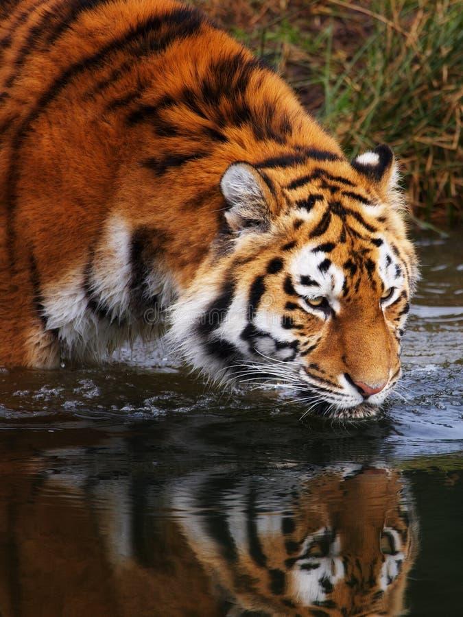 выпивая siberian тигр стоковые фото