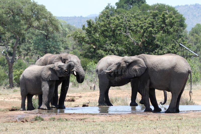 выпивая waterhole семьи слона стоковое изображение