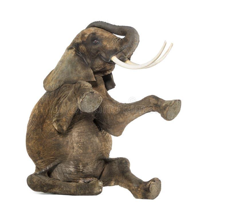 Выполнять африканского слона, усаженный на пол, хобот вверх стоковые изображения